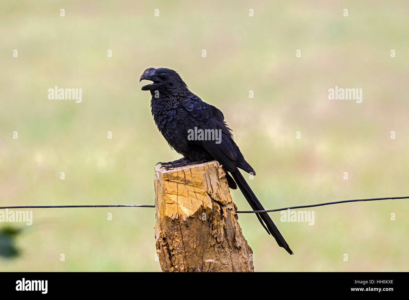 Smooth billed ani perched on fencepost in Brazil - Stock Image