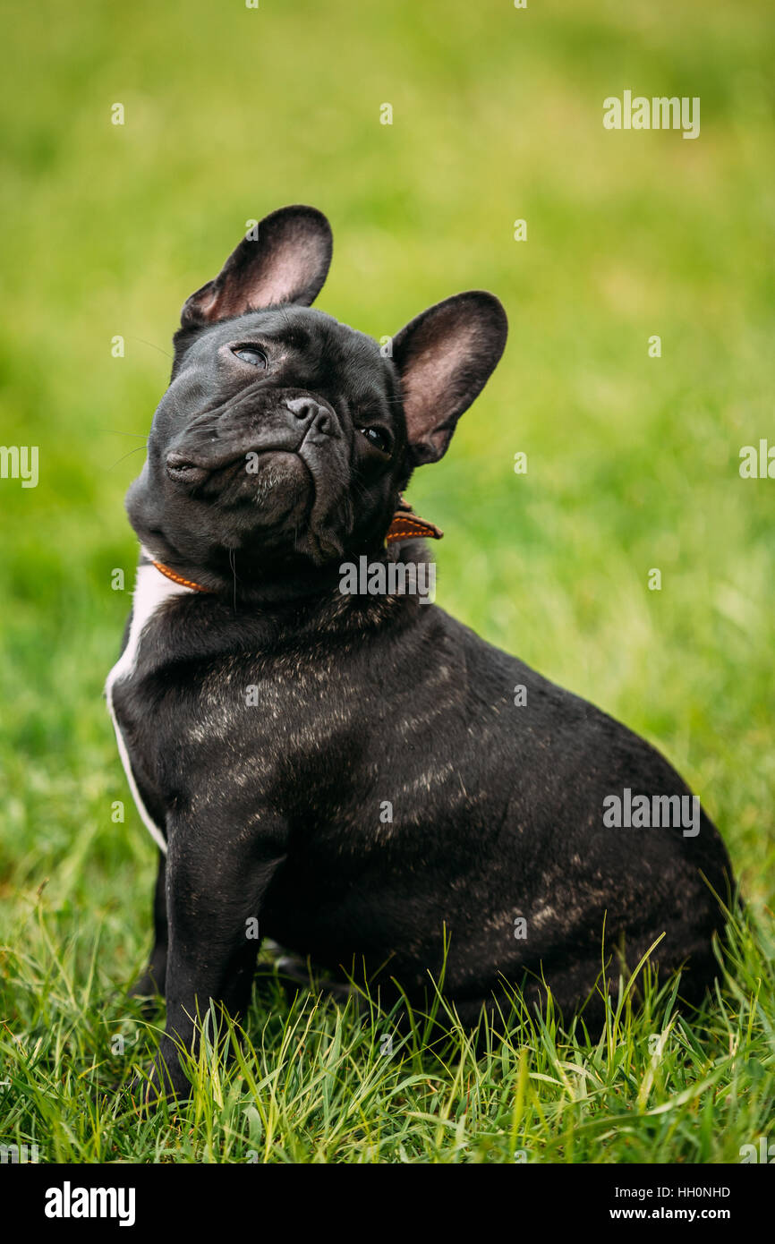 Funny Young Black French Bulldog Puppy Dog With A White Spot On His Stock Photo Alamy