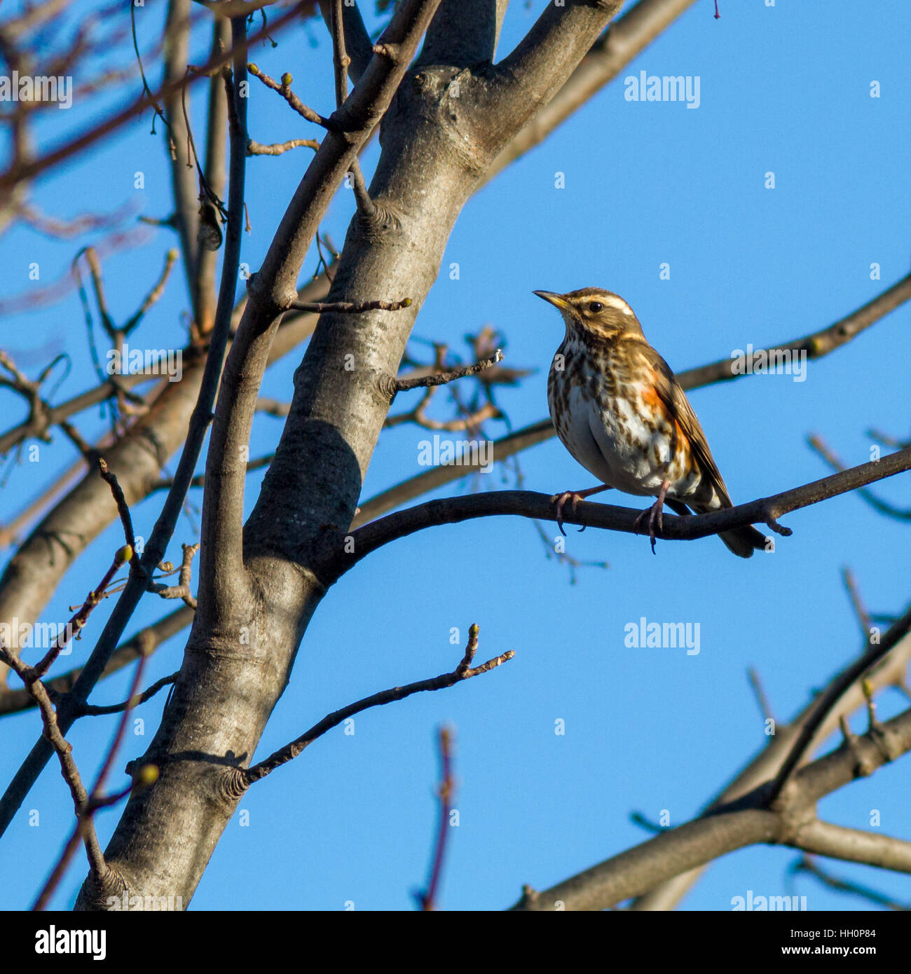 A migrant redwing perched on a tree in the centre of Ilkley, Yorkshire, UK - Stock Image