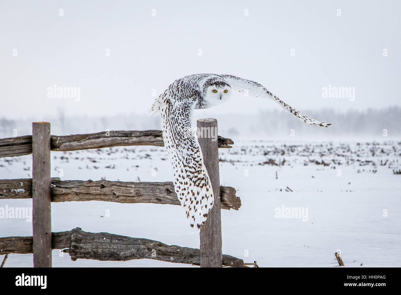 Snowy Owl 2017 - Stock Image