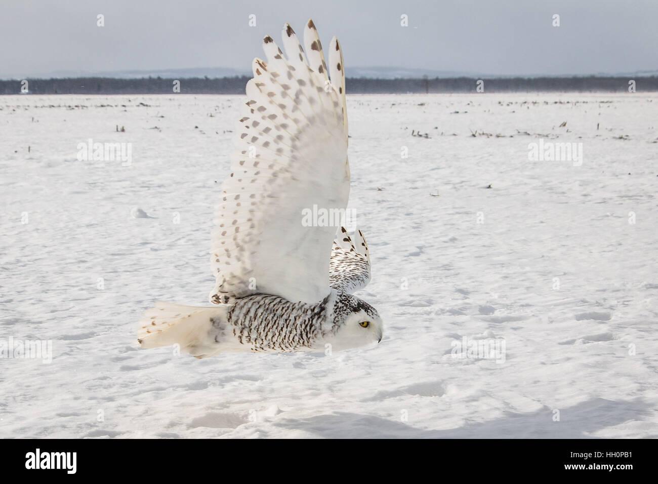 Snowy Owl, Stayner, Ontario, Canada 2017 - Stock Image