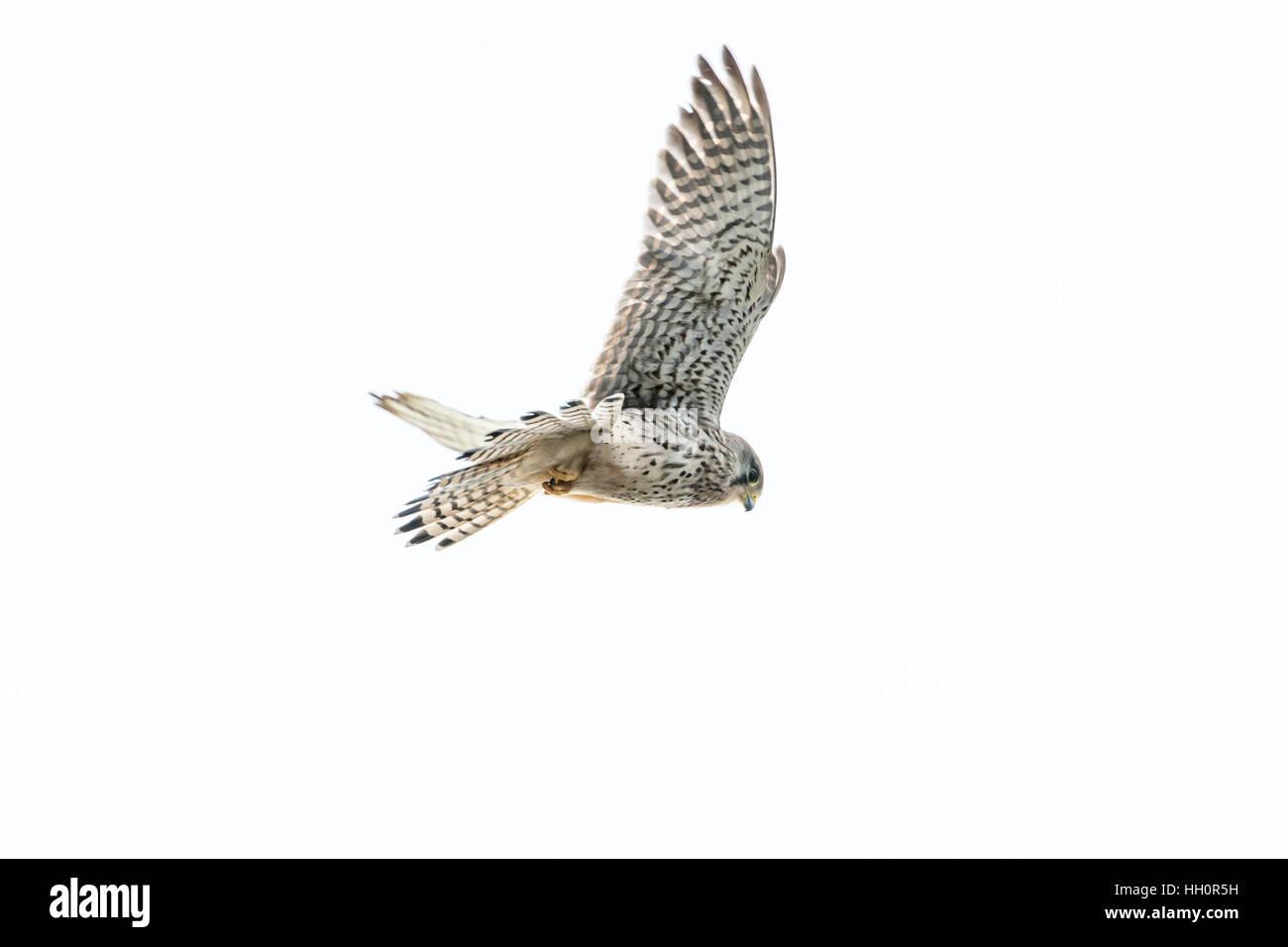 Female common kestrel (Falco tinnunculus) in flight against a white background - Stock Image