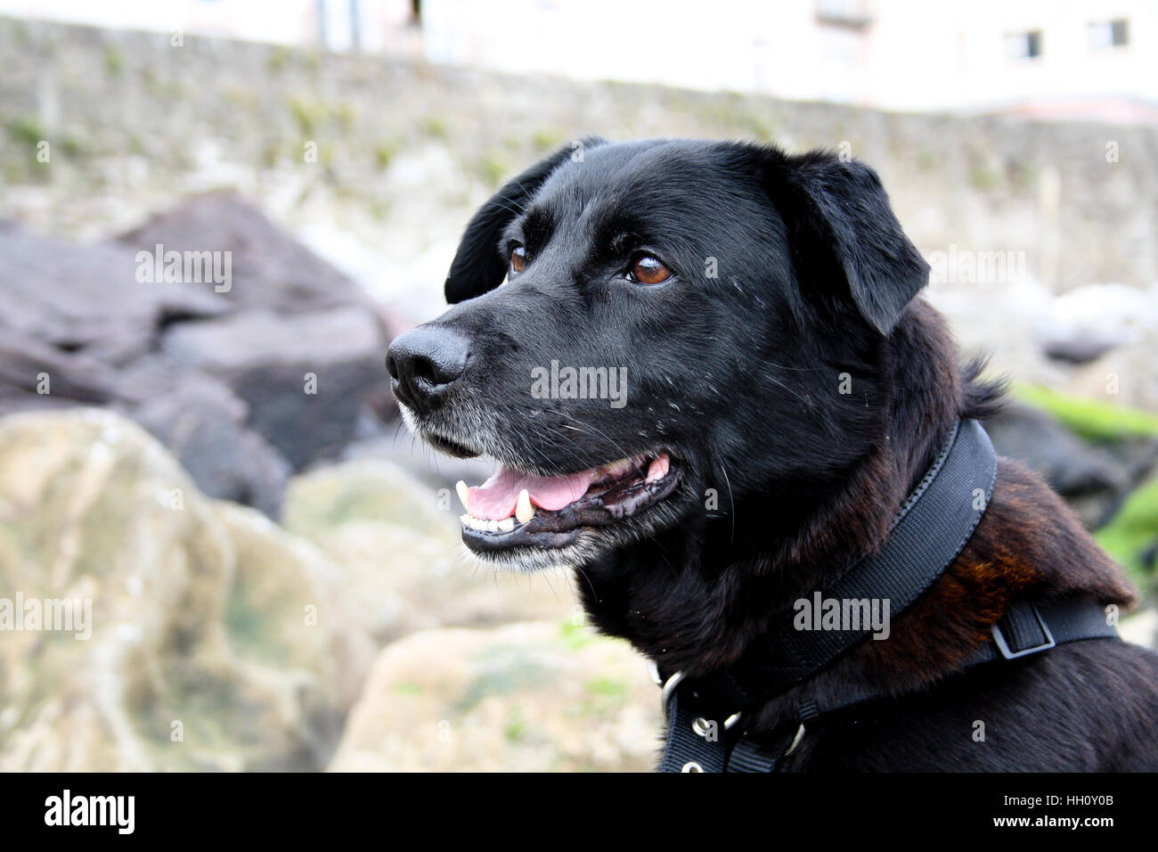 Close up of a black dog face on a beach - Stock Image