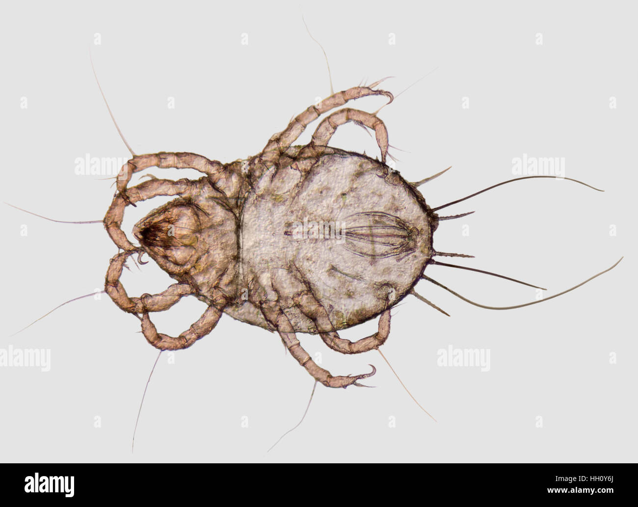microscopic shot showing a house dust mite - Stock Image