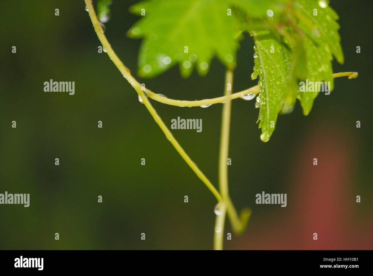 water drops in grapes' leaves captured with high dimension to show the beauty of nature - Stock Image