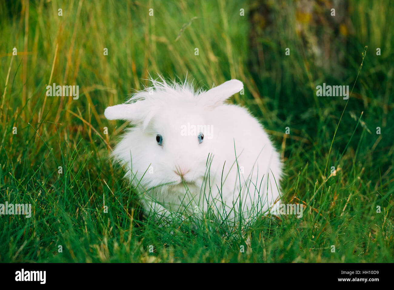 Close View Of Cute Dwarf Decorative Miniature Snow-White Fluffy Rabbit Bunny Mixed Breeds With Blue Eye Sitting - Stock Image
