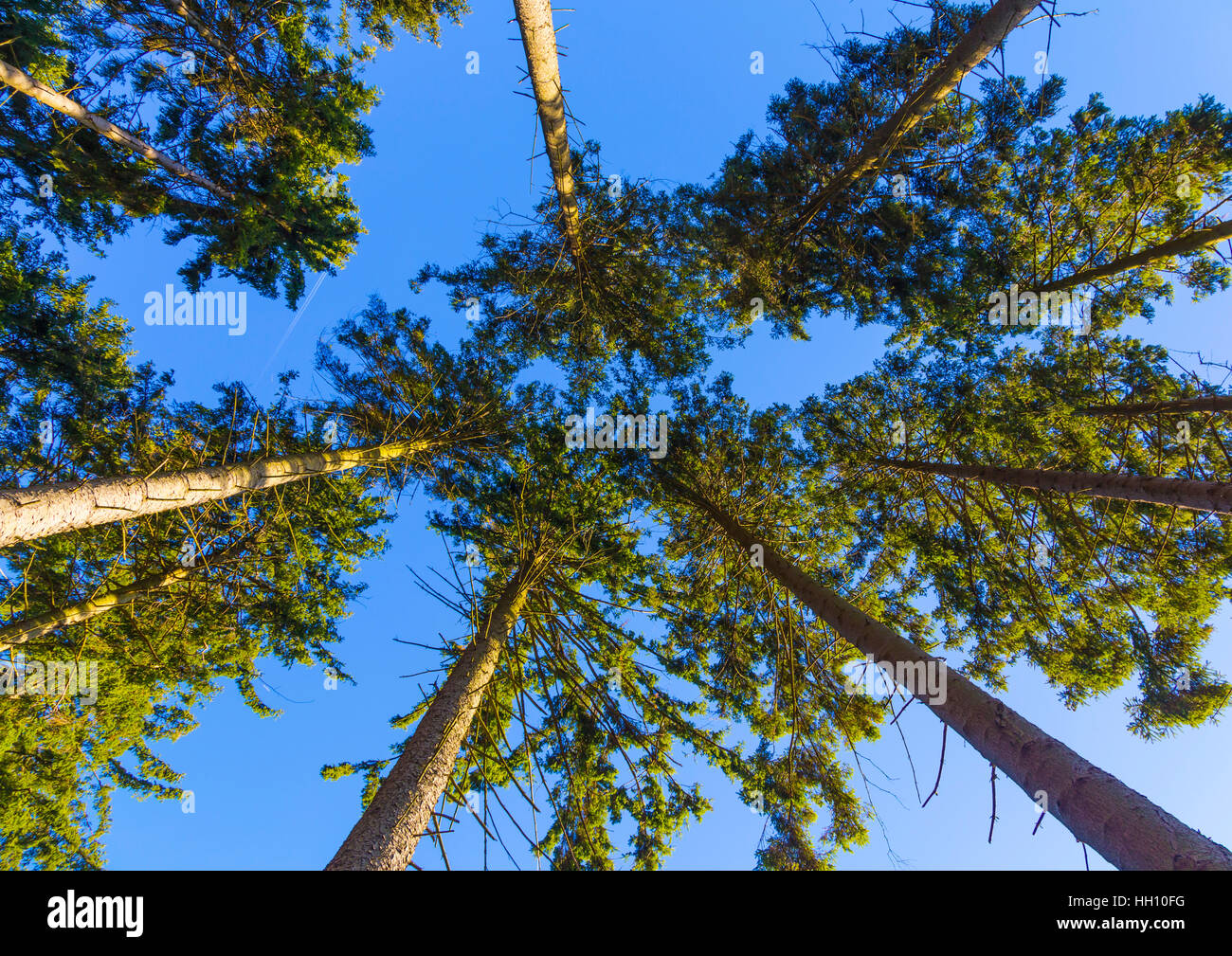 Forest canopy looking upwards Stock Photo