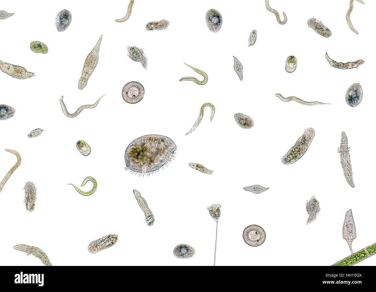 micrography showing lots of various freshwater microorganisms in light back - Stock Image
