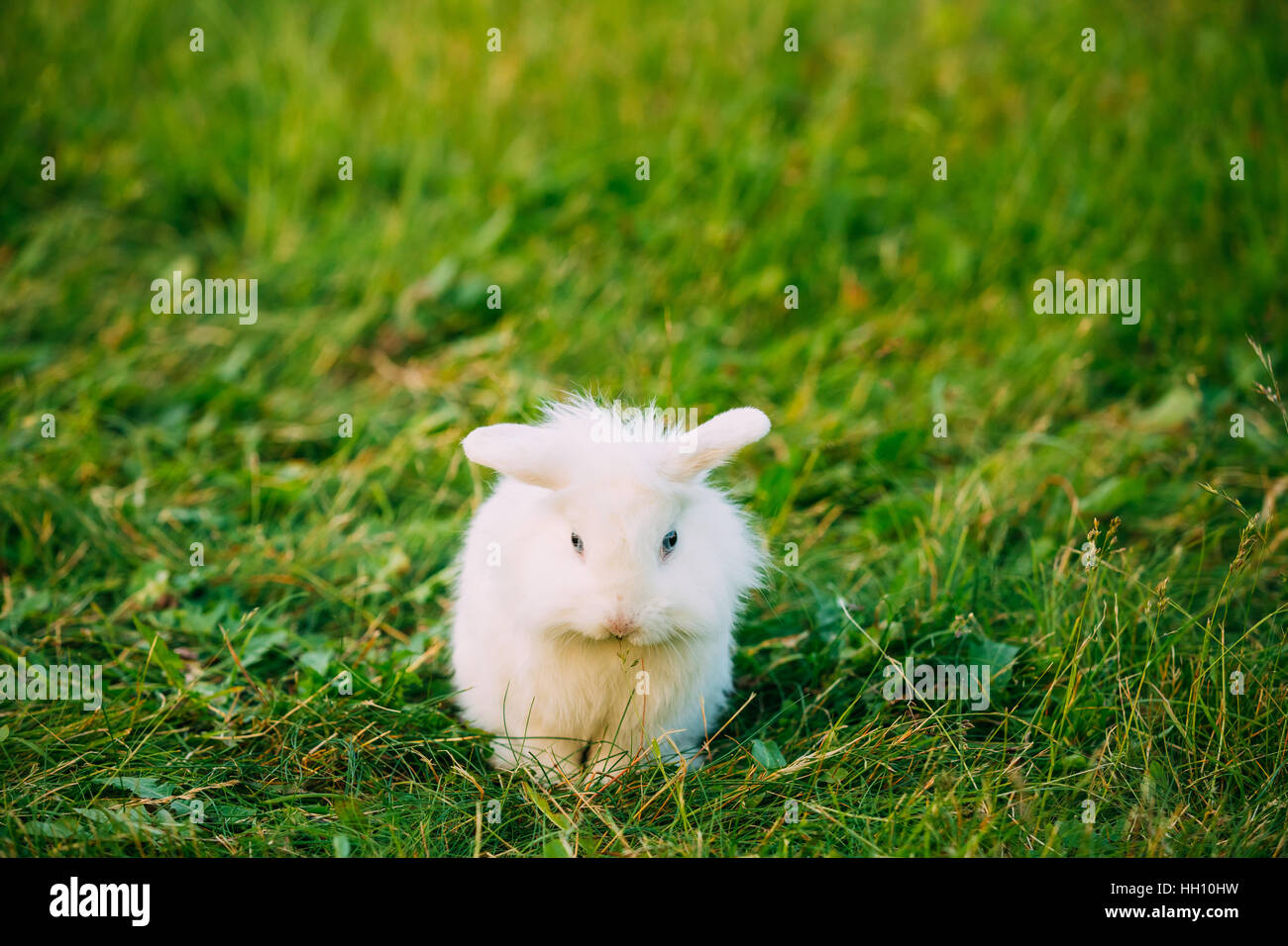 Cute Dwarf Lop-Eared Decorative Miniature Snow-White Fluffy Rabbit Bunny Mixed Breed With Blue Eyes Sitting In Bright - Stock Image