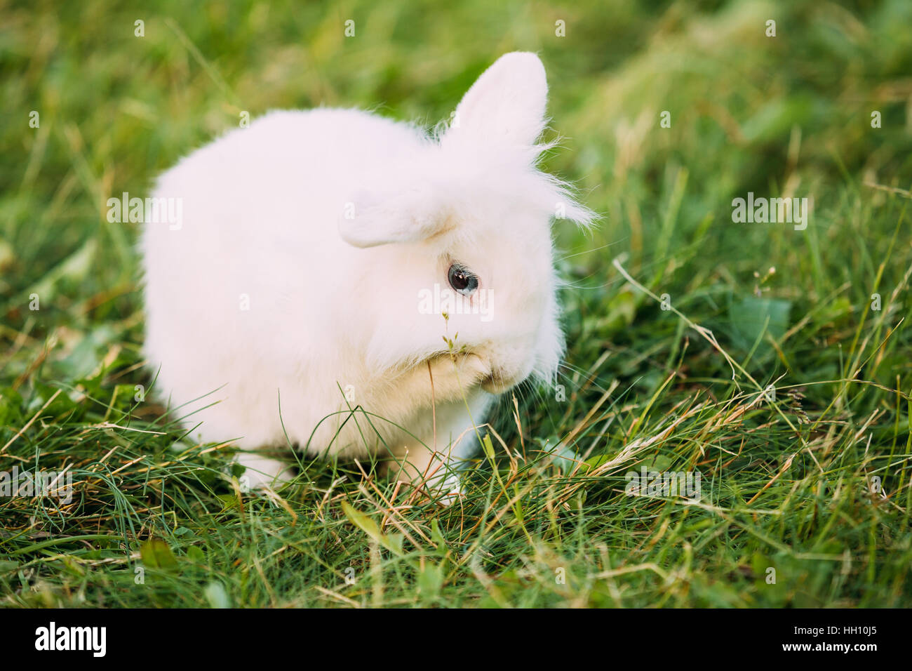 Close Profile Of Cute Dwarf Lop-Eared Decorative Miniature Snow-White Fluffy Rabbit Bunny Mixed Breed With Blue - Stock Image