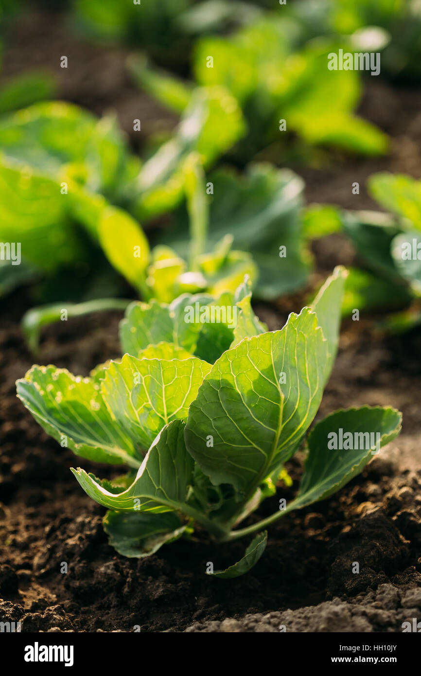 How to plant seedlings of cabbage in open ground