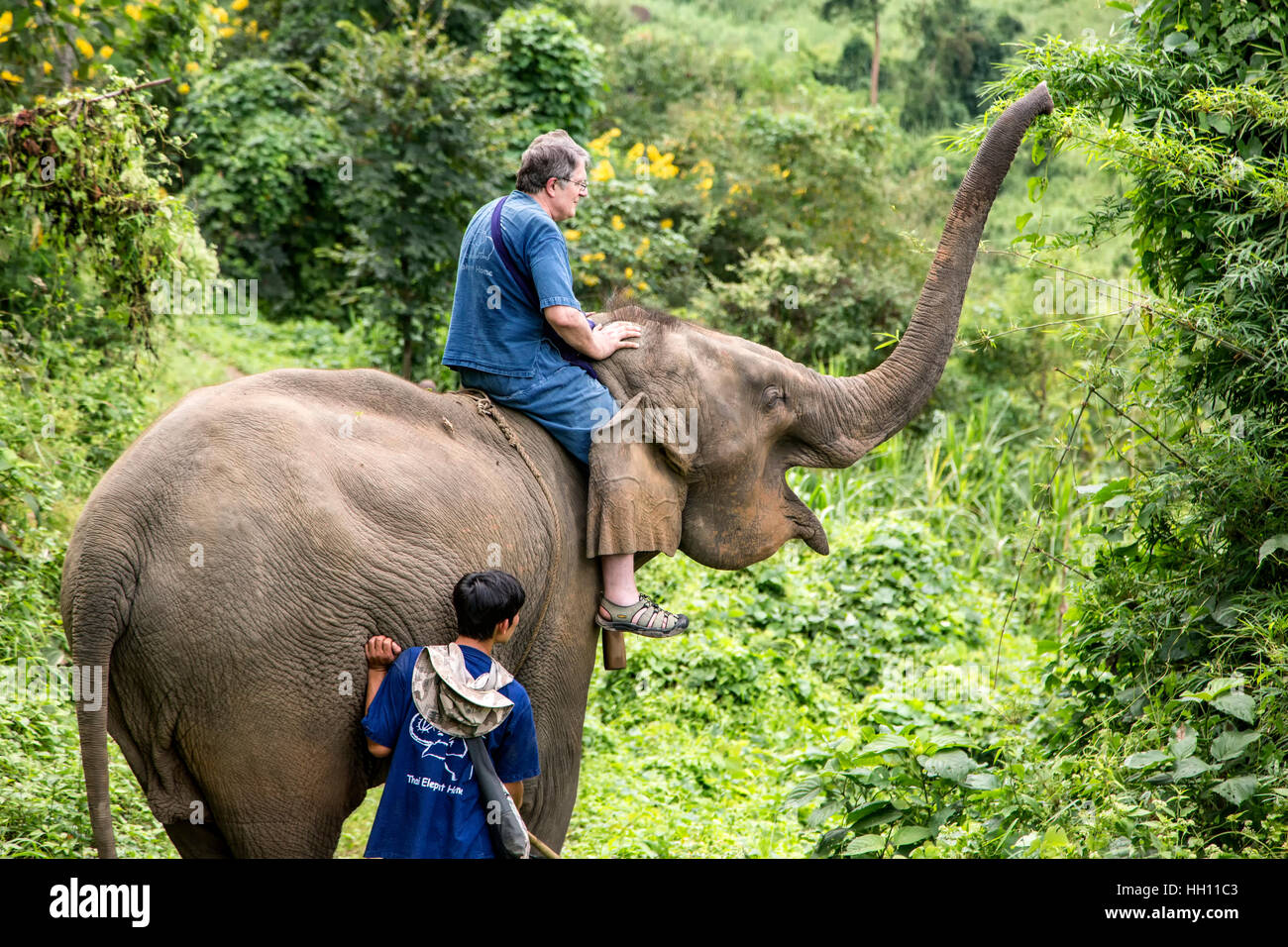 Man riding Asian elephant (Elephas maximus) on jungle trail, Thai Elephant Home elephant farm, Keudchang Maetang, - Stock Image