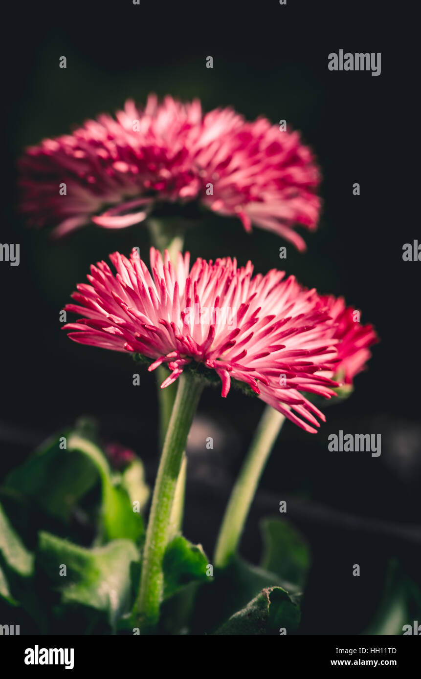 Two Blossoming Pink Daisies Flowers In Black Background Stock Photo