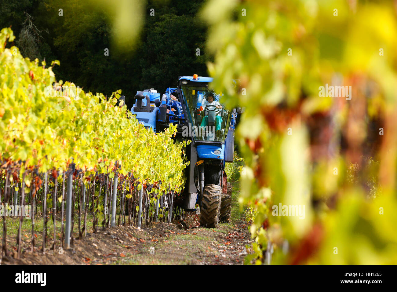 A New Holland Grape Harvester at work in the vineyards around San Casciano in Val di Pesa in Tuscany, Italy. - Stock Image