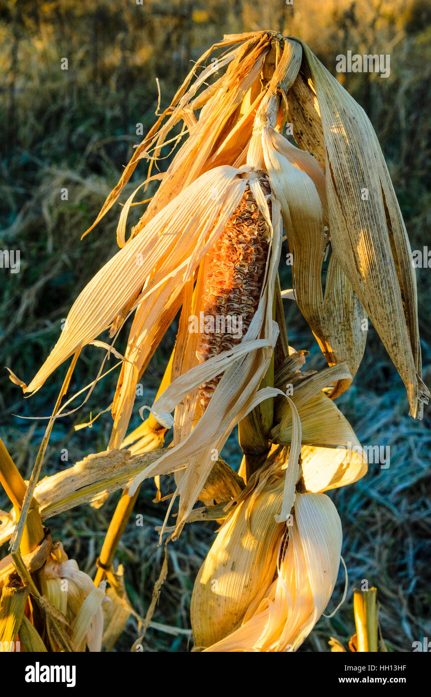 Unharvested maize plant on a frosty morning in Lancashire England - Stock Image