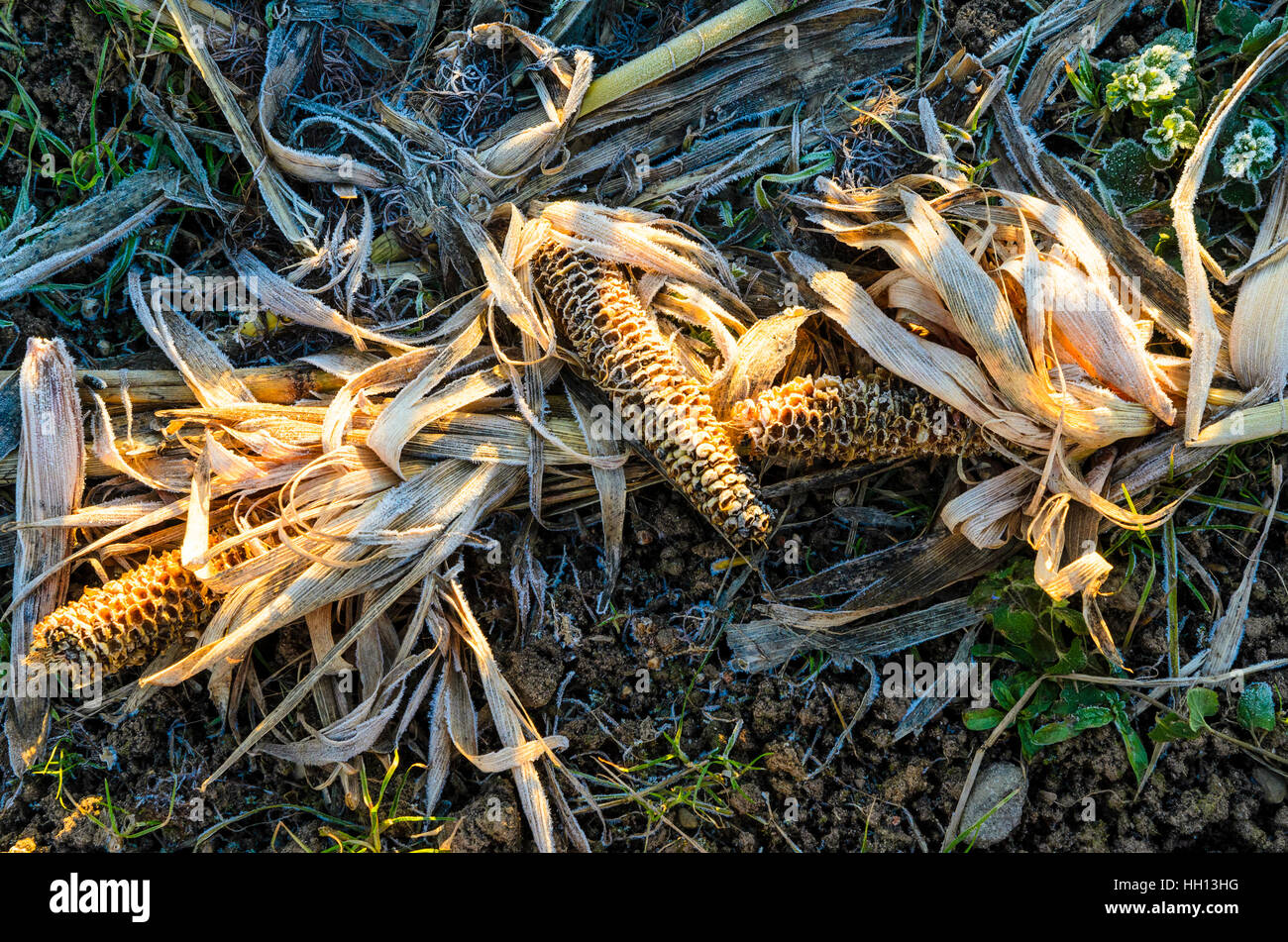 Frost on maize plant lying on ground in Lancashire England - Stock Image