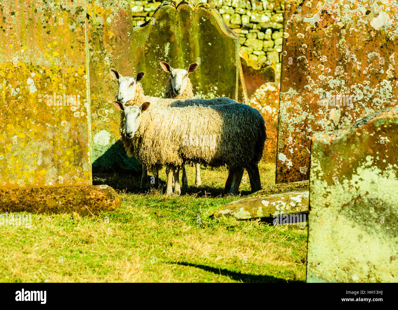 Sheep graze among gravestones at the churchyard of St Lawrence the Martyr in Kirkland Eden Cumbria - Stock Image