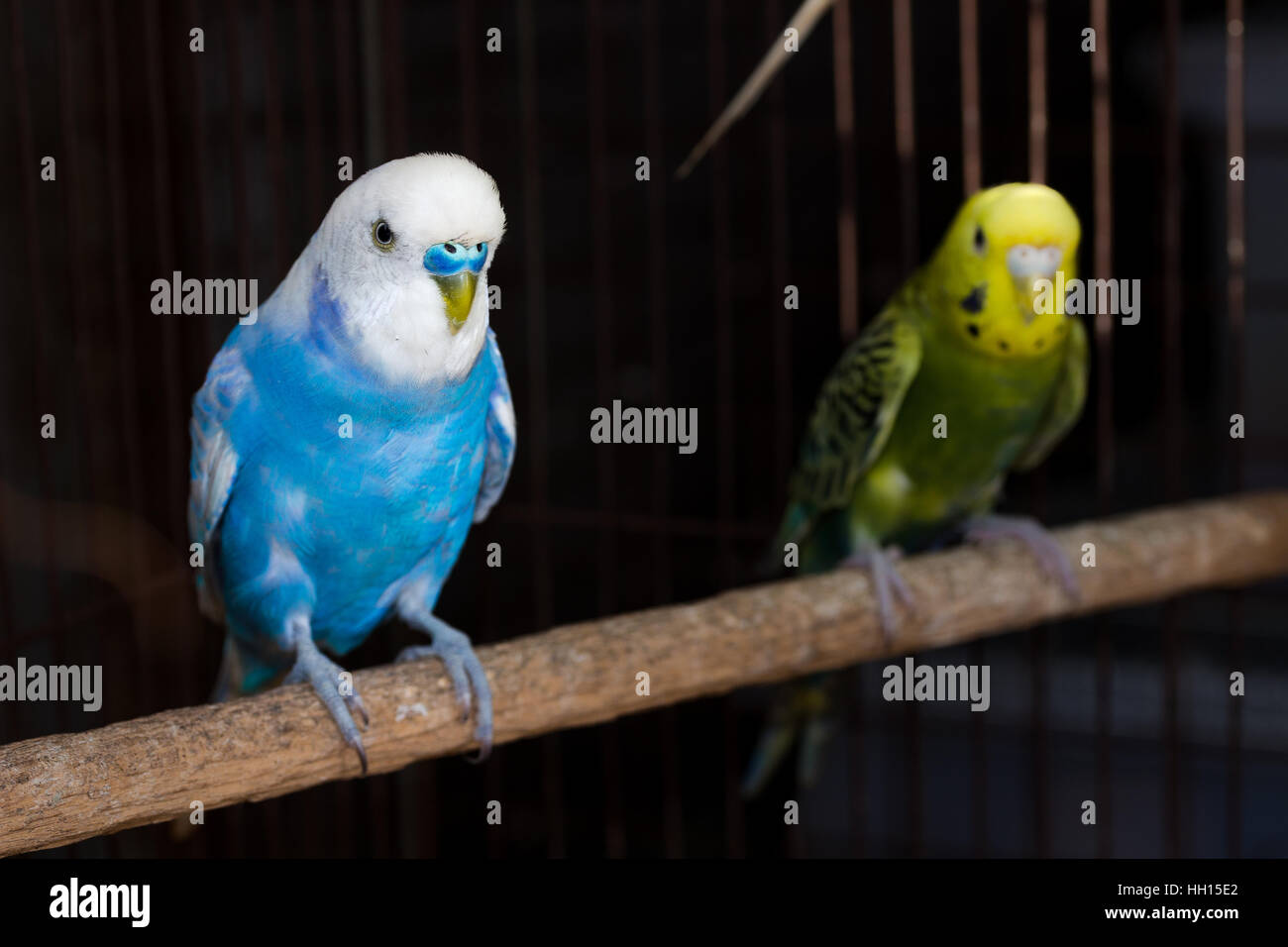 Yellow Budgie,  Budgerigar Birds in the cage - Stock Image