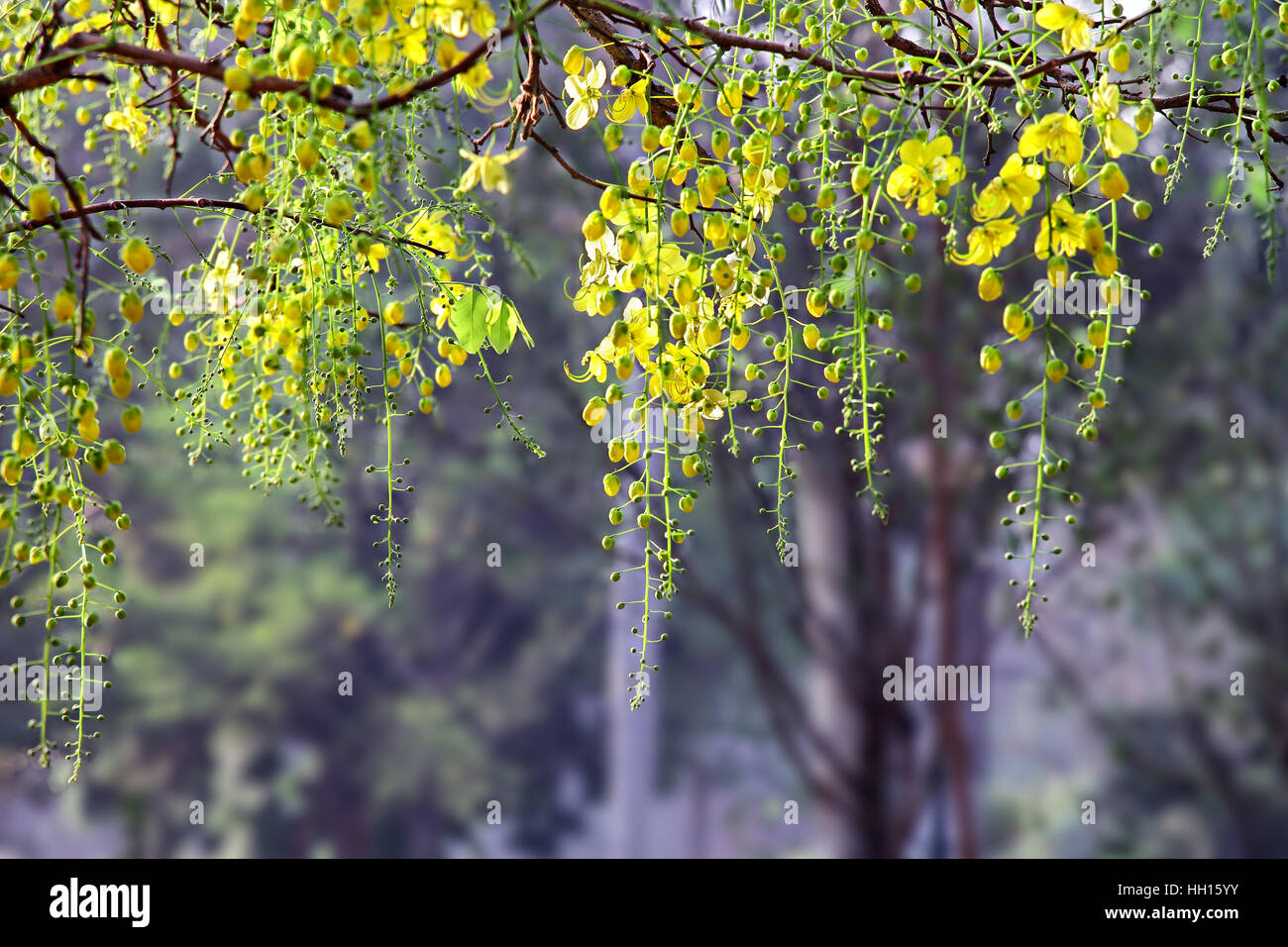 Thailand yellow flower tree stock photos thailand yellow flower golden shower cassia fistula bloom in tree called konna in kerala india mightylinksfo