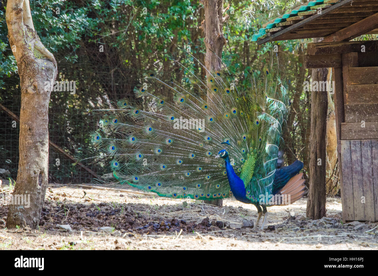 Peacock in the zoo - Stock Image