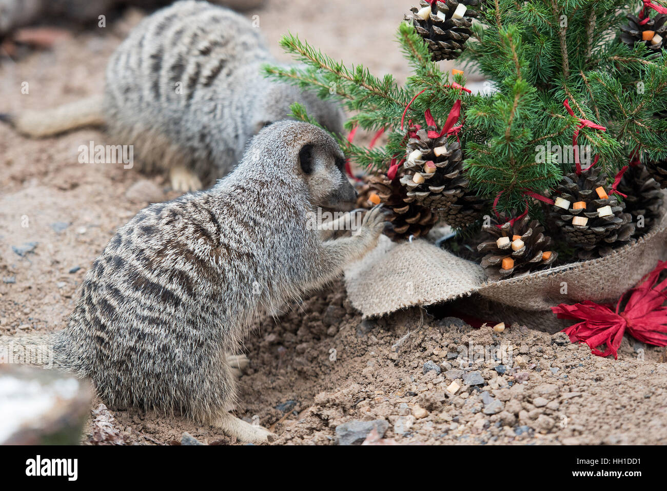 London Zoo At Christmas.Animals Are Treated To Christmas Presents At The Zsl London