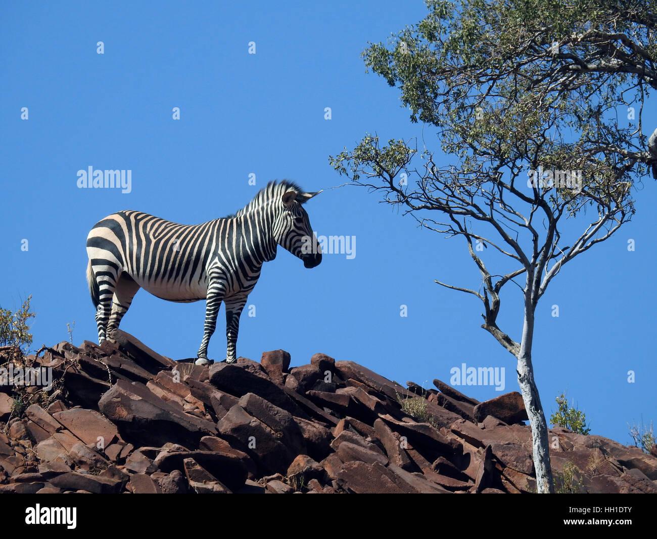 Hartmann's Mountain Zebra (Equus zebra hartmannae) in rugged terrain, Damaraland, Namibia - Stock Image