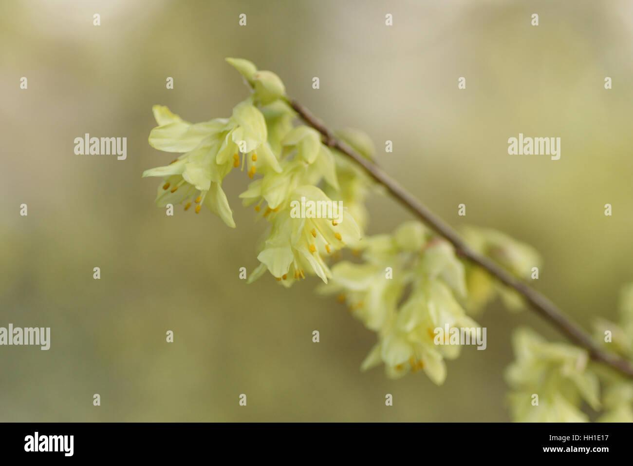 Corylopsis pauciflora - Stock Image
