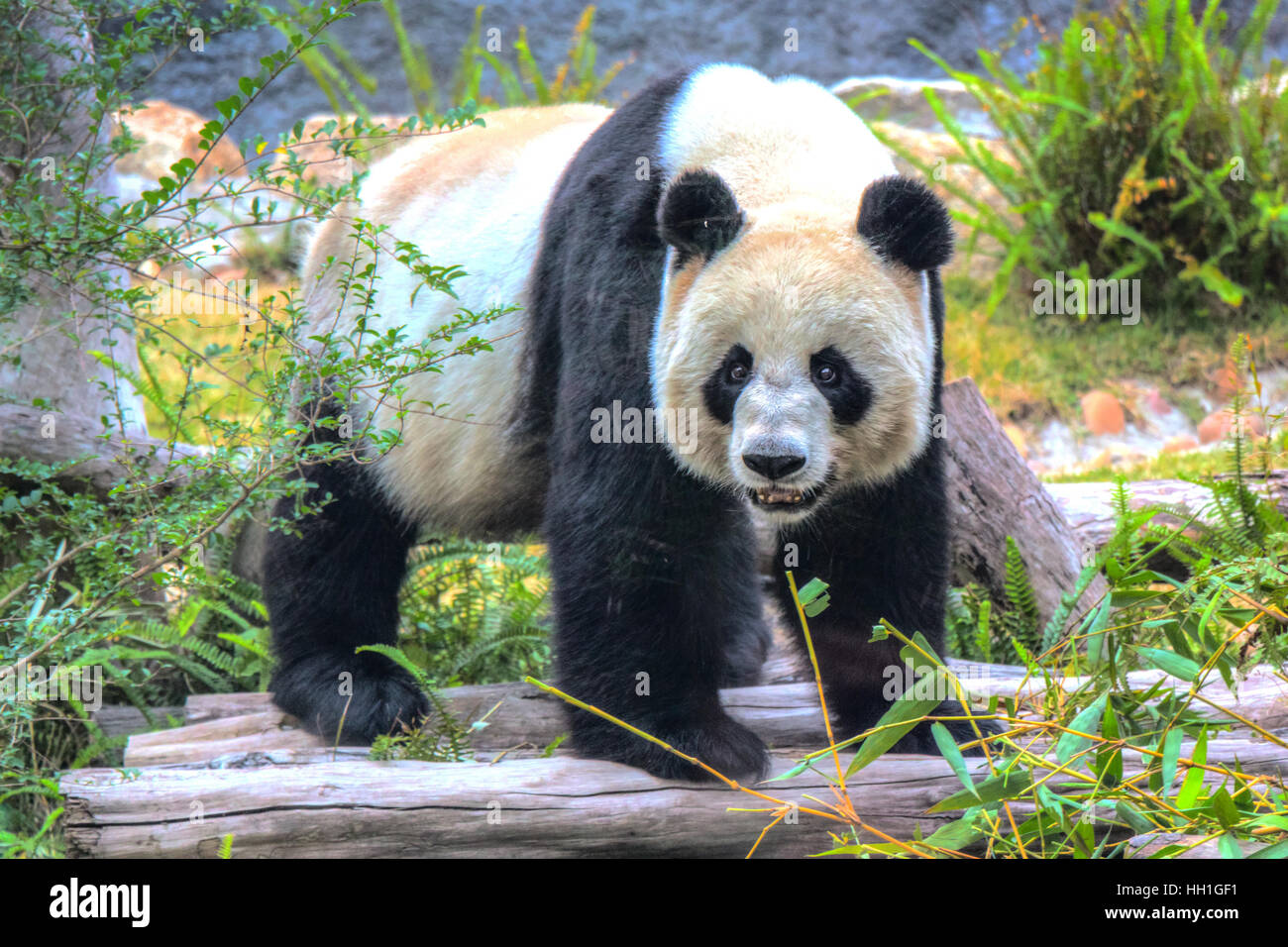 Xin Xin the giant Panda making eye contact with me through the thick glass enclosure in  Seac Pai Van Park, Seac - Stock Image