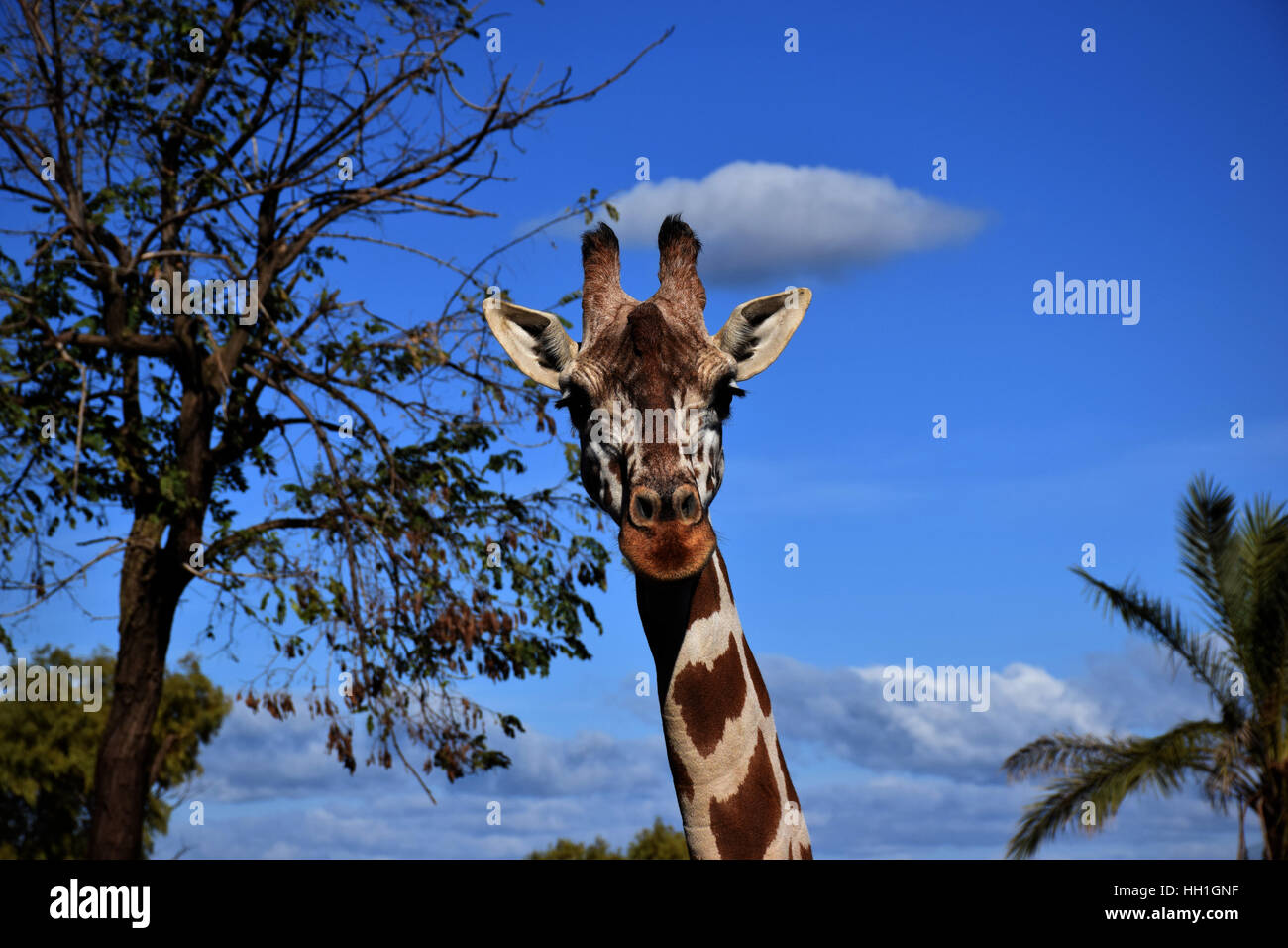 The giraffe in your habitat - Stock Image