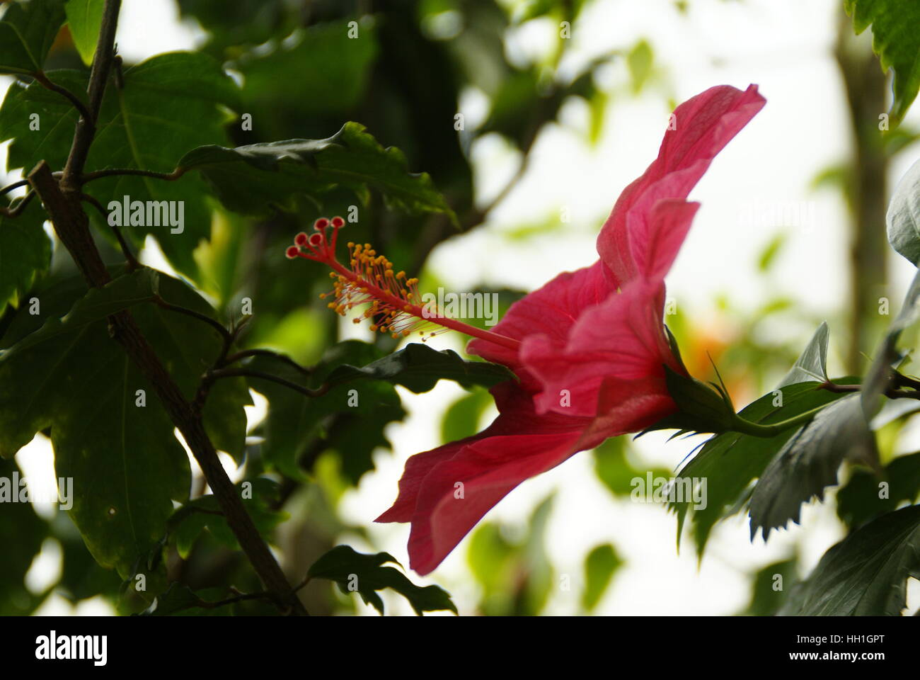 A hibiscus flower in a botanical garden. - Stock Image