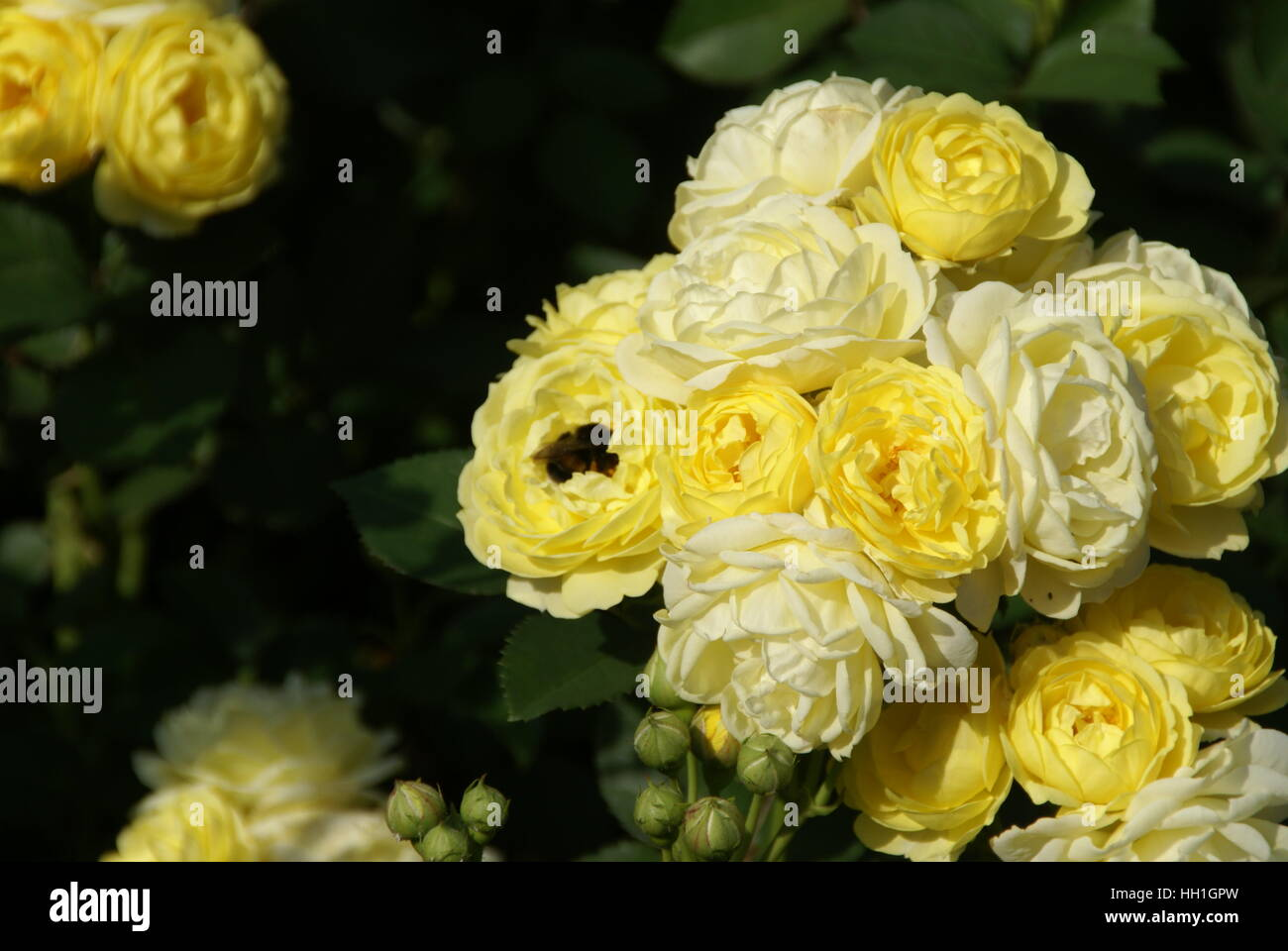 A bumble bee pollinating a yellow rose, it looks like its sleeping in a bed made out of rose petals. - Stock Image