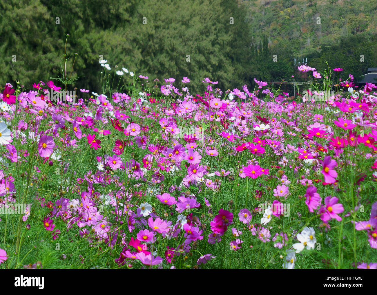 Blooming Pink Cosmos Field at the Foothill Covered with Green Foliage, Northeastern of Thailand - Stock Image