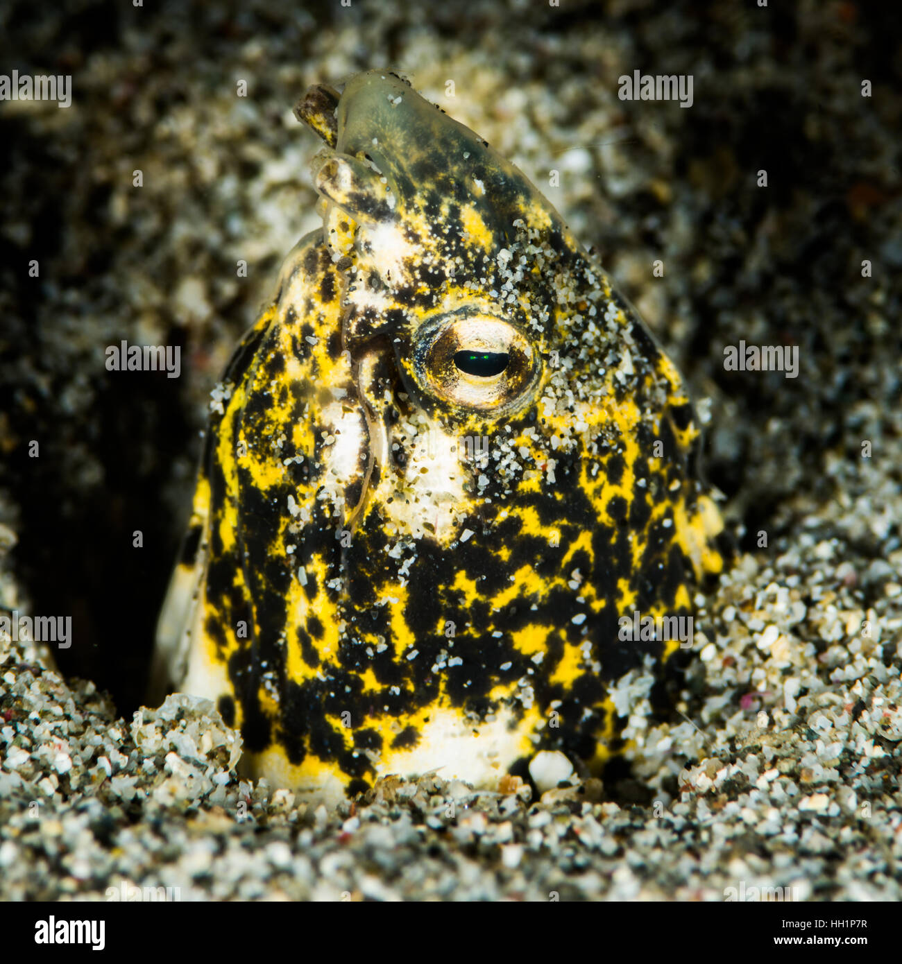 Marbled snake eel Stock Photo