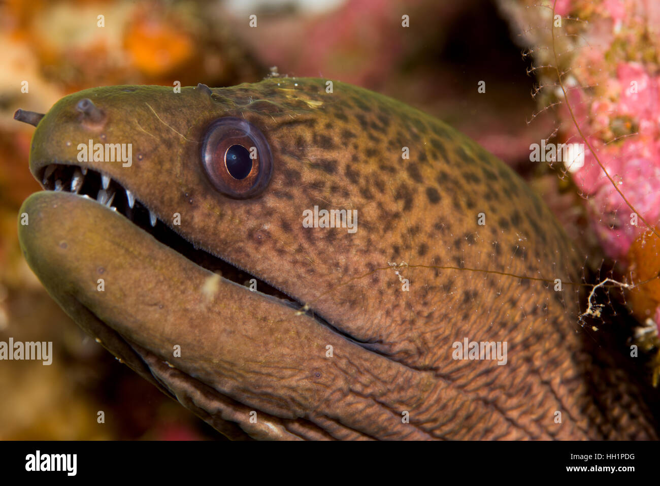 Giant moray waiting for a prey Stock Photo