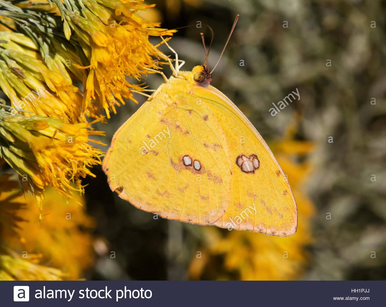 Sưu tập Bộ cánh vảy 3 - Page 18 Cloudless-sulphur-phoebis-sennae-butterfly-pieridae-subfamily-coliadinae-HH1PJJ