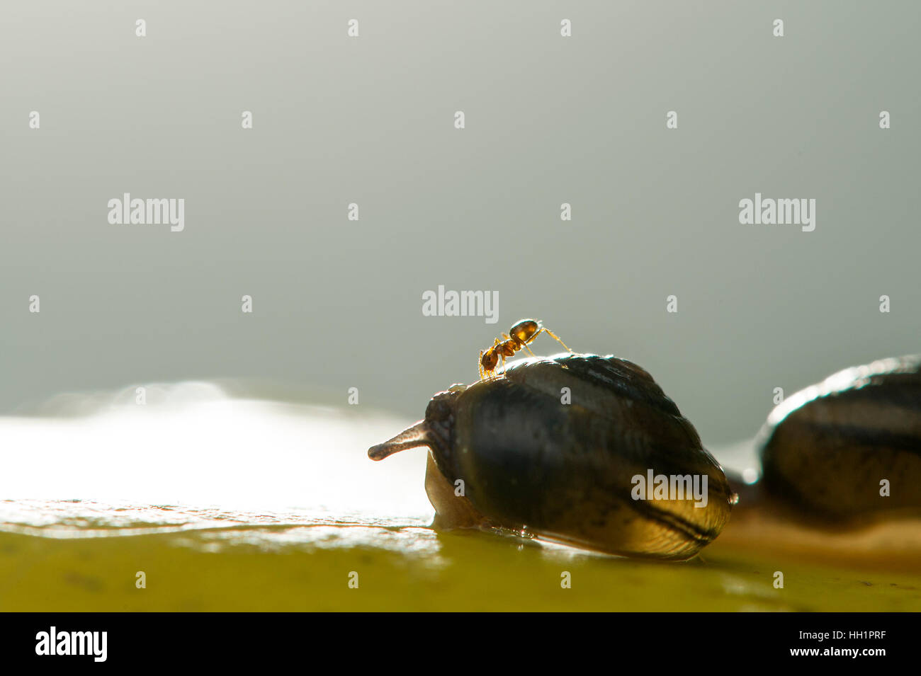 A tiny ant climbs onto a snail that is on a large yellow leaf. - Stock Image