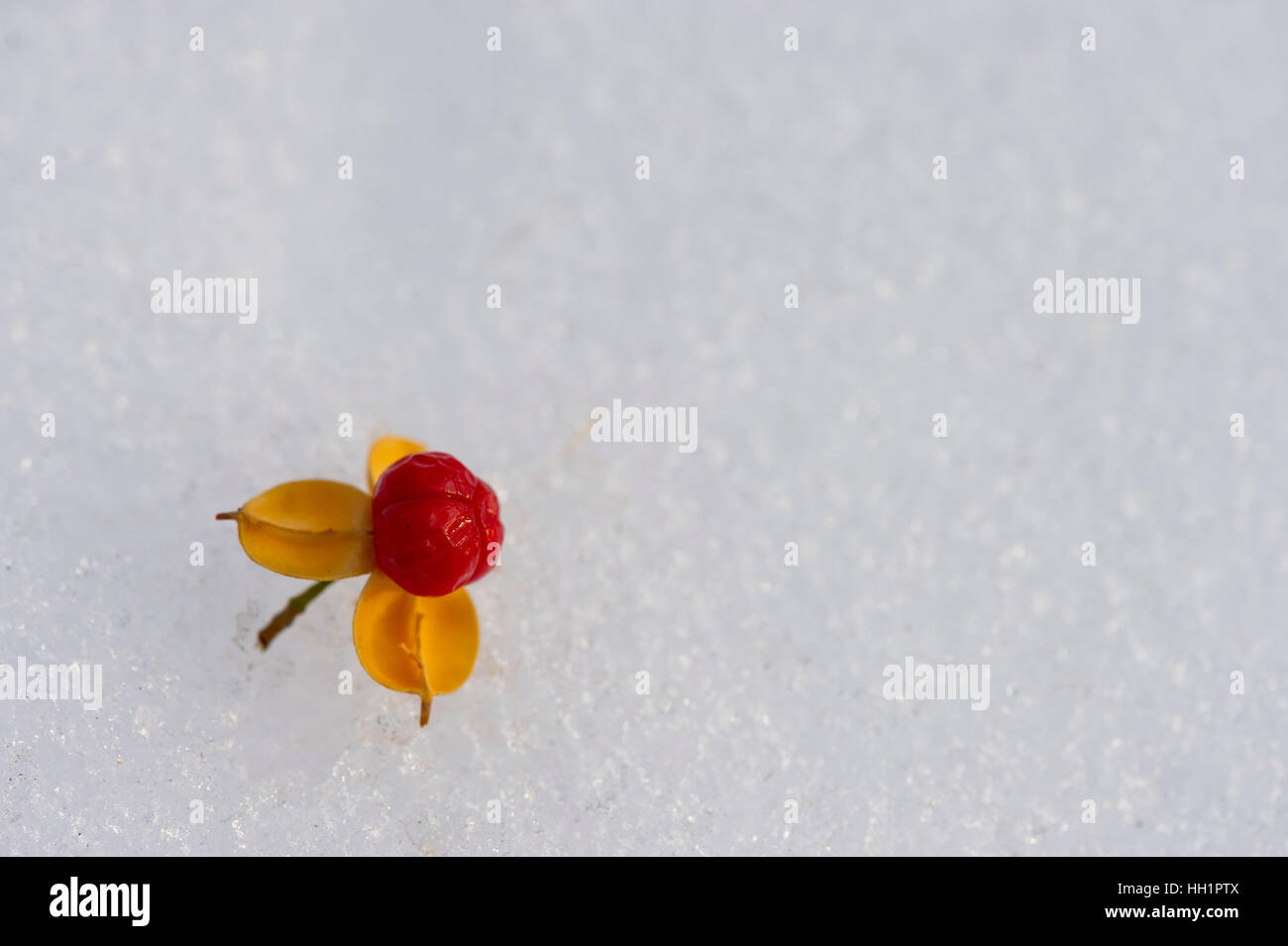 A red and yellow seed on freshly fallen snow. - Stock Image
