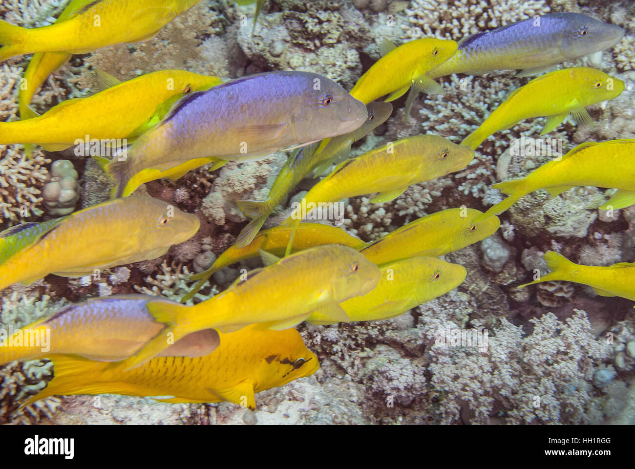 Goldspotted Gaotfish, Parupeneus cyclostomus, Red Sea, Ras Mohammed, Egypt - Stock Image