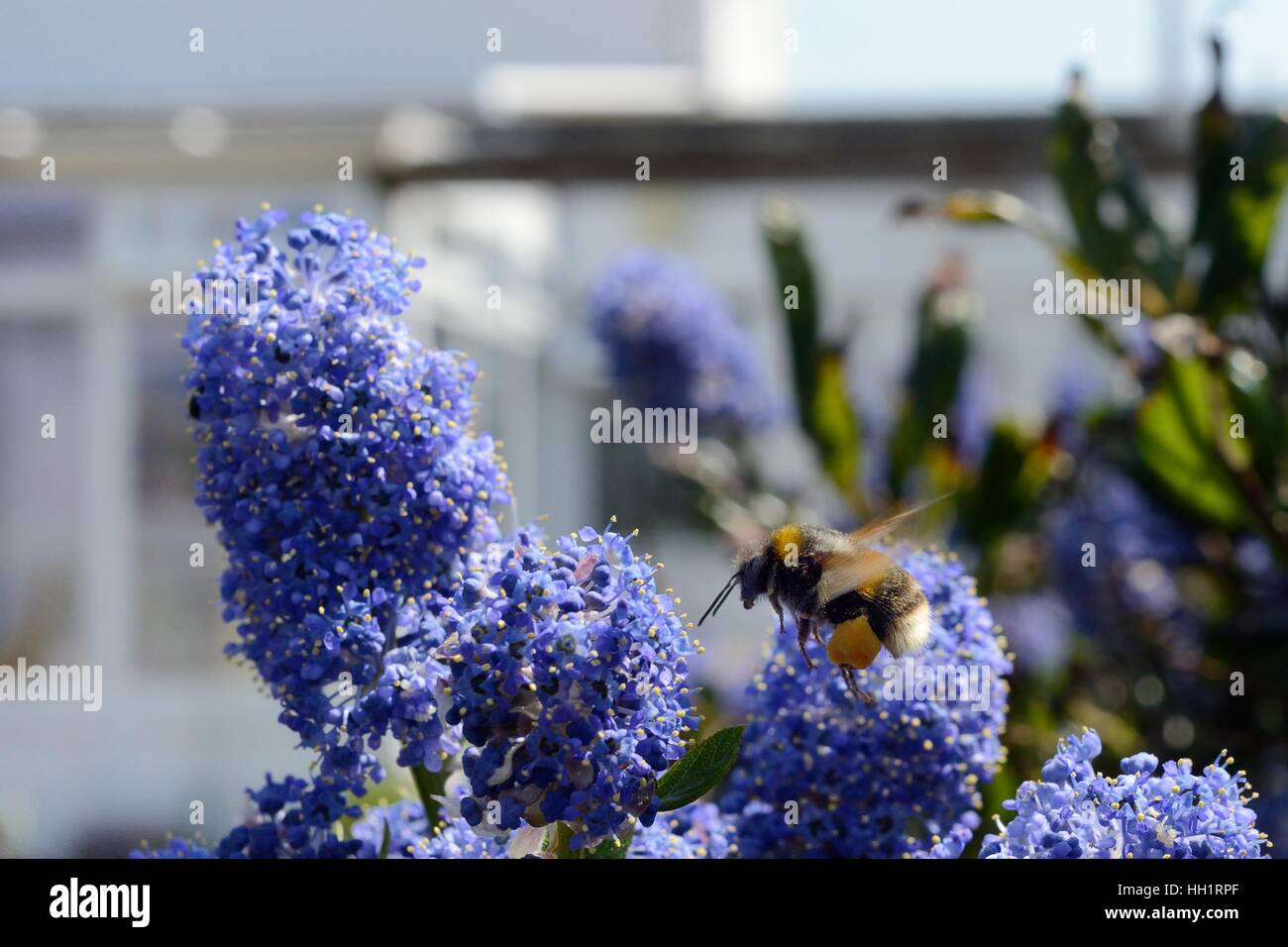 Buff-tailed bumblebee (Bombus terrestris) flying to Ceanothus flowers in a garden planted with flowers to attract - Stock Image