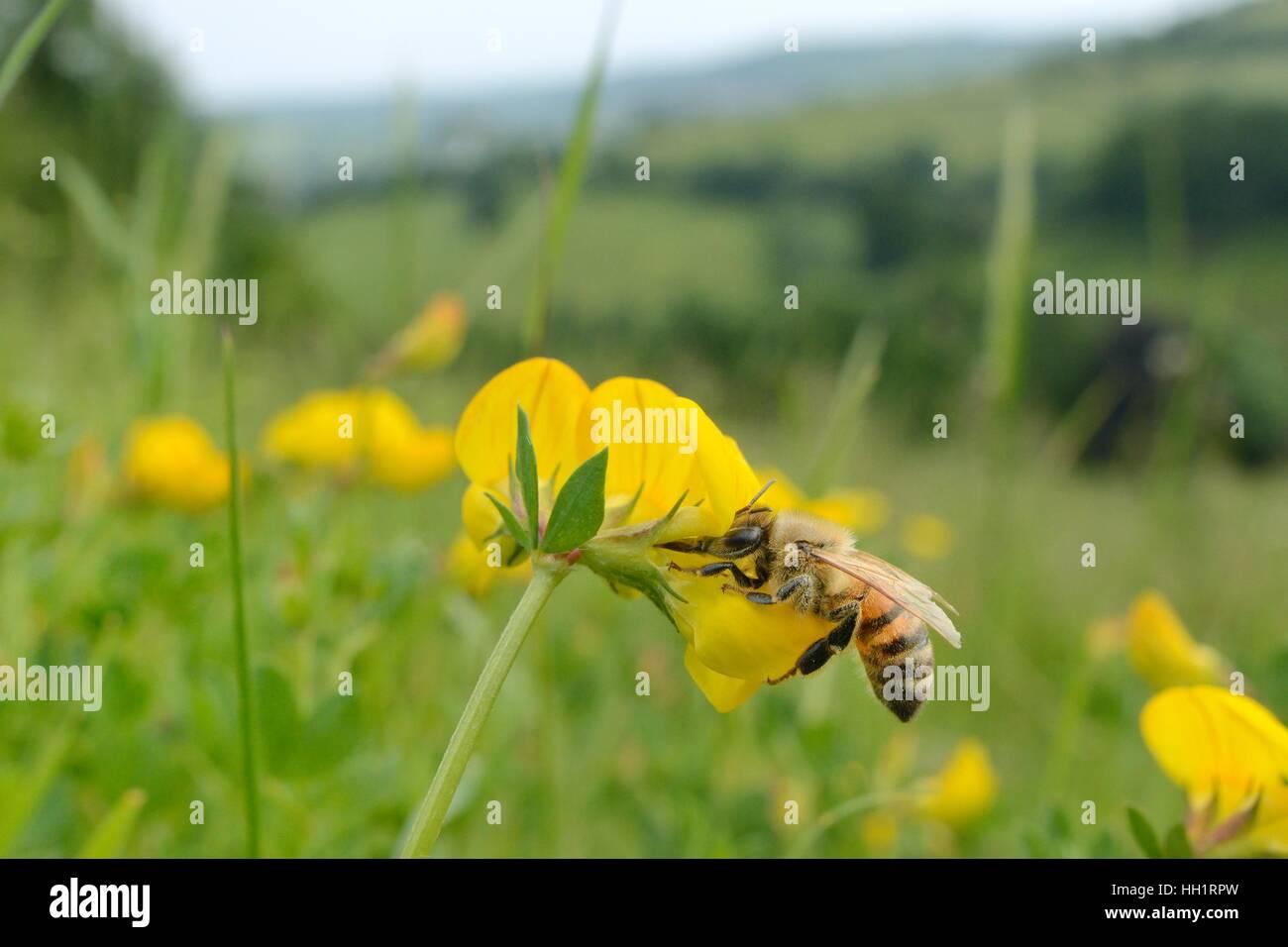 Honey bee (Apis mellifera) nectaring on Birdsfoot trefoil (Lotus corniculatus) flowers on grassland meadow, near - Stock Image