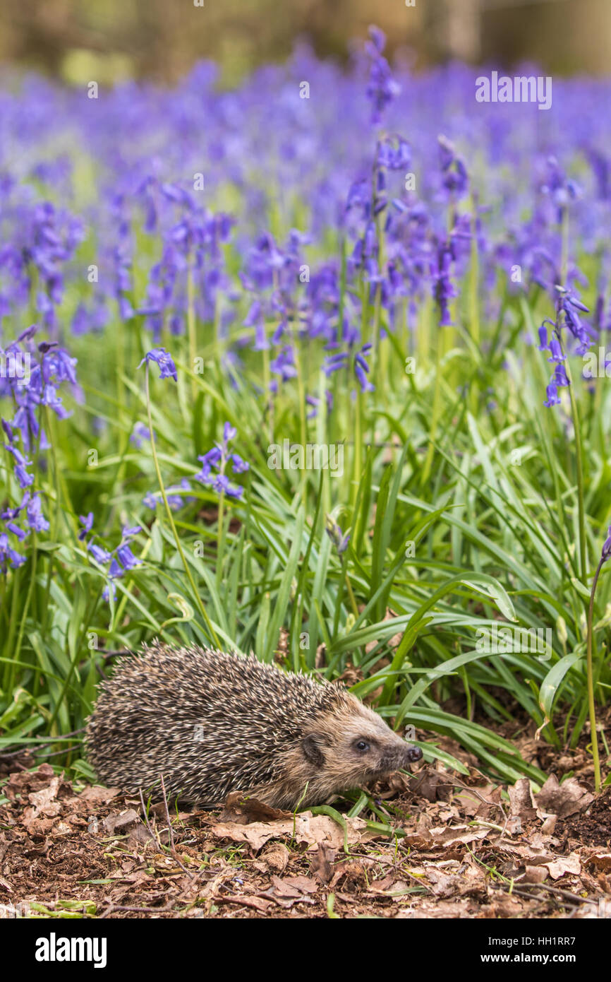 Hedgehog ( Erinaceidae ) in a Carpet of Bluebells - Stock Image