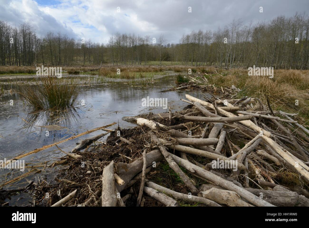 Dam built with cut branches by Eurasian beavers (Castor fiber) to create a large shallow pond in marshland,Tayside, - Stock Image