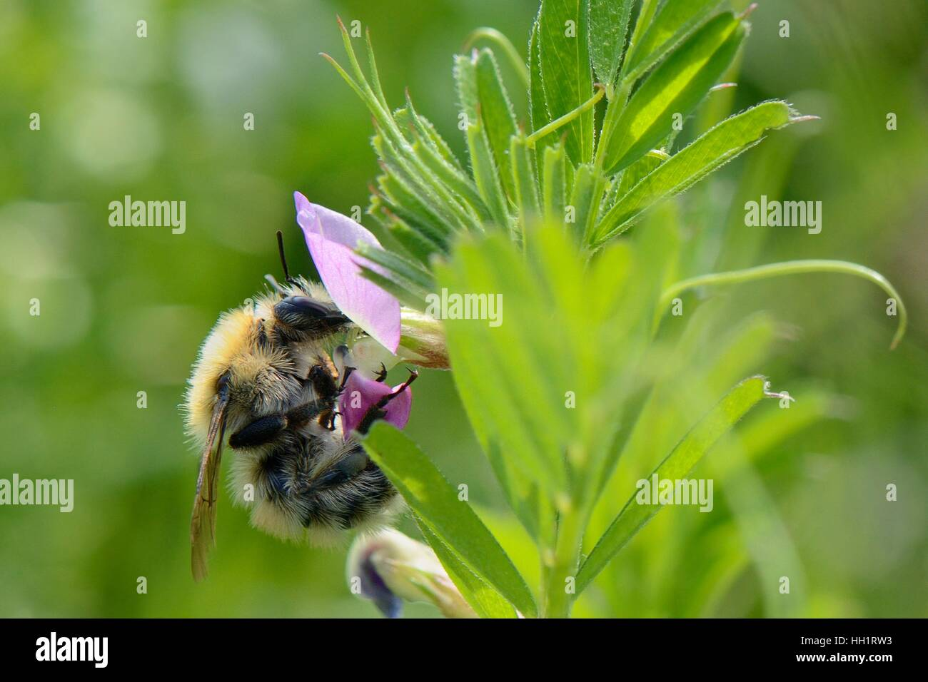 Moss carder / Large carder bumblebee (Bombus muscorum) nectaring on Common vetch (Vicia sativum), Dungeness, Kent, - Stock Image