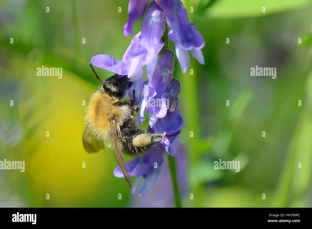 Common carder bumblebee (Bombus pascuorum) nectaring on Tufted vetch (Vicia cracca) flowers, Bristol, UK - Stock Image