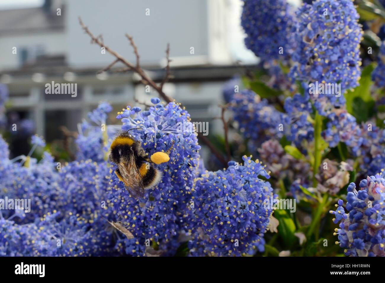 Buff-tailed bumblebee (Bombus terrestris) nectaring on Ceanothus flowers in a garden planted with flowers for pollinators, - Stock Image