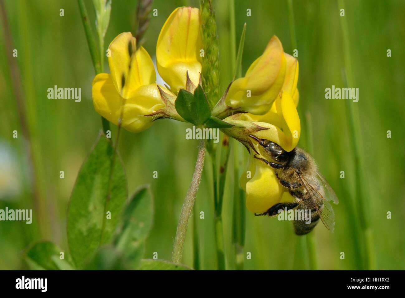 Honey bee (Apis mellifera) nectaring on Birdsfoot trefoil flower (Lotus corniculatus), RSPB Dungeness Nature Reserve, - Stock Image