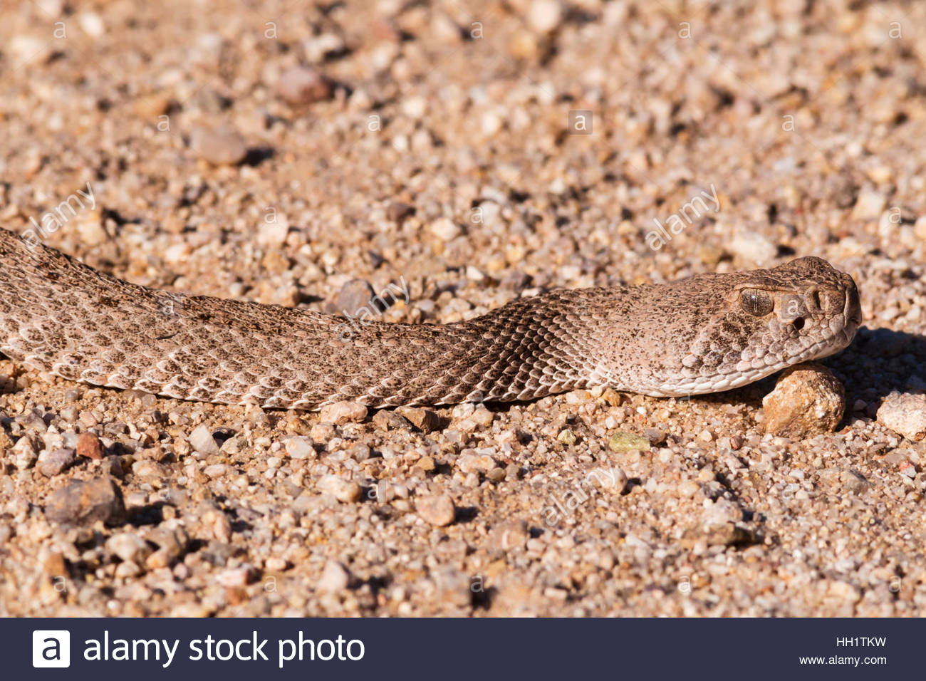 Western Diamond-backed Rattlesnake Crotalus atrox Arizona Stock Photo