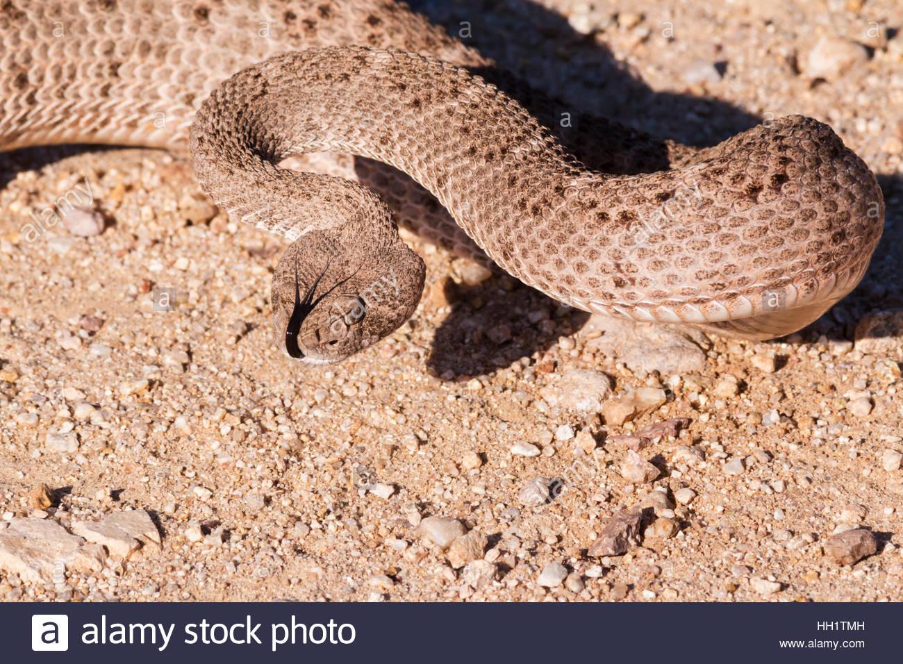 Western Diamond-backed Rattlesnake Crotalus atrox Arizona Stock Photo