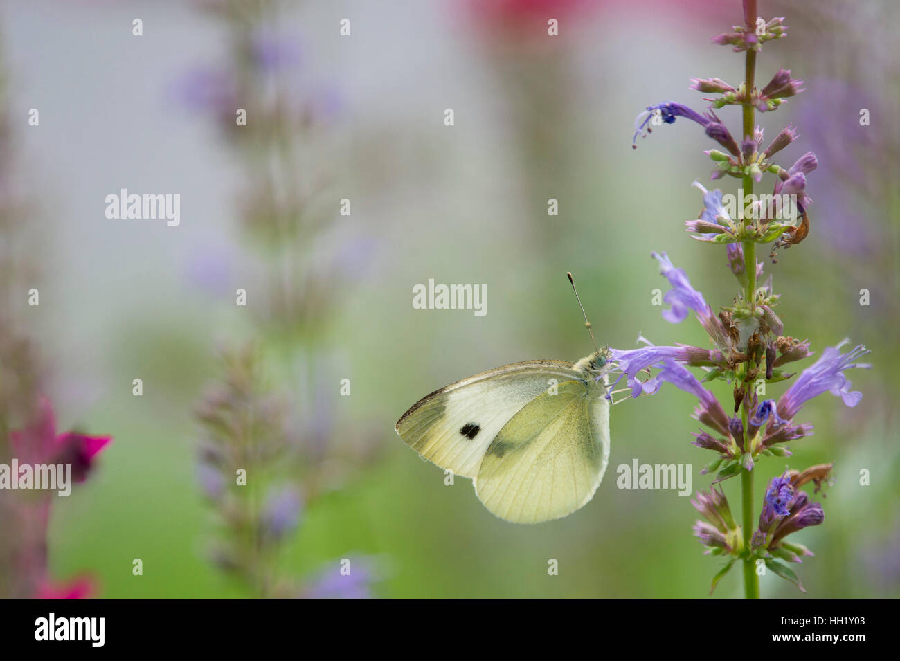 A small yellow butterfly feeding on purple flowers with a green and pink background. - Stock Image