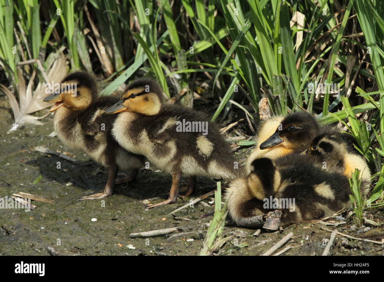 A group of Mallard Ducklings (Anas platyrhynchos) resting on the lakes edge. - Stock Image